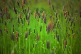 Wild Meadow Grass on Waterford Island , County Waterford, Ireland Photographic Print by Green Light Collection