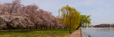 Cherry Blossom Trees in Potomac Park at the Tidal Basin, Washington Dc, USA Photographic Print by  Panoramic Images
