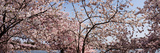 Cherry Blossom Trees with the Washington Monument in the Background, Washington Dc, USA Photographic Print by  Panoramic Images