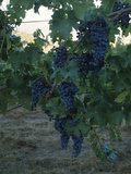 Merlot Grapes on a Vine, Napa Valley, California, USA Photographic Print by Green Light Collection