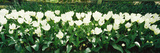 White Tulip Flowers in a Garden, Washington State, USA Photographic Print by  Panoramic Images