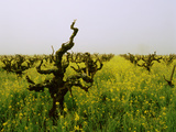 Vineyards in the Fog, Napa Valley, California, USA Photographic Print by Green Light Collection