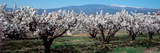 Panoramic Images - Cherry Trees in a Field with Mont Ventoux in the Background, Provence-Alpes-Cote D'Azur, France - Fotografik Baskı