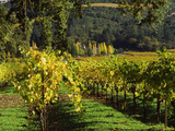 Vineyard at Chateau St. Jean Winery, Kenwood, Sonoma County, California, USA Photographic Print by Green Light Collection