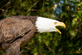 Close-Up of a Bald Eagle (Haliaeetus Leucocephalus) Calling, Ontario, Canada Photographic Print by Green Light Collection