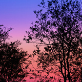 Trees at Sunset, Iceland Photographic Print by Green Light Collection