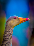 Portrait of Greylag Goose, Iceland Photographic Print by Green Light Collection