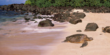 Turtles on the Beach, Oahu, Hawaii, USA Photographic Print by  Panoramic Images