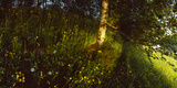 Birch Tree in a Forest, Lappeenranta, South Karelia, Southern Finland, Finland Photographic Print by  Panoramic Images