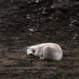 Polar Bear Sleeping, Spitsbergen Island, Svalbard, Norway Photographic Print by Green Light Collection