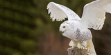 Close-Up of a Snowy Owl (Bubo Scandiacus) Prepare for Takeoff Photographic Print by Green Light Collection