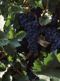 Cabernet Sauvignon Grapes in Vineyard, Wine Country, California, USA Photographic Print by Green Light Collection