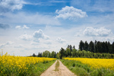 Dirt Road Passing Through Rapeseed Fields, Baden-Wurttemberg, Germany Photographic Print by Green Light Collection