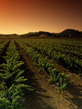 Vine Crop in a Vineyard, Usibelli Vineyards, Napa Valley, California, USA Photographic Print by Green Light Collection