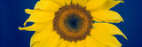 Close-Up of a Sunflower (Helianthus Annuus Photographic Print by  Panoramic Images