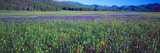 Flowers in a Field, Salmon, Idaho, USA Fotoprint van Panoramic Images,
