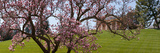 Cherry Blossom Trees at the Gravesite of John F. Kennedy, Arlington House Photographic Print by  Panoramic Images
