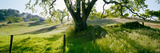 California Oaks Trees, Central Coast, California, USA Photographic Print by  Panoramic Images