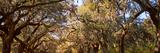 Trees Covered with Spanish Moss, Boone Hall Plantation, Mount Pleasant, Charleston Photographic Print by  Panoramic Images