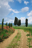 Path with Cypress Trees in Field, San Quirico D'Orcia, Val D'Orcia, Siena Province, Tuscany, Italy Photographic Print by  Panoramic Images
