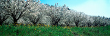 Cherry Trees in a Field, Provence-Alpes-Cote D'Azur, France Photographic Print by  Panoramic Images