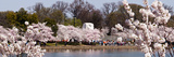 Cherry Blossom Trees Near Martin Luther King Jr. National Memorial, Washington Dc, USA Photographic Print by  Panoramic Images