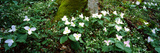 Trillium Wildflowers on Plants, Chimney Tops, Great Smoky Mountains National Park, Gatlinburg Photographic Print by  Panoramic Images