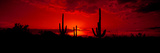 Saguaro Cactus (Carnegiea Gigantea) in a Desert at Dusk, Arizona, USA Photographic Print by  Panoramic Images
