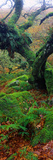Oak Trees in a Forest, Wistman's Wood, Dartmoor National Park, Devon, England Photographic Print by  Panoramic Images