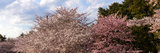 Cherry Blossom Trees in Full Bloom at the National Mall, Washington Dc, USA Photographic Print by  Panoramic Images