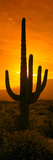 Saguaro Cactus (Carnegiea Gigantea) in a Desert at Sunrise, Arizona, USA Photographic Print by  Panoramic Images