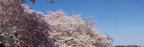 Cherry Blossom Trees in Bloom at the National Mall, Washington Dc, USA Photographic Print by  Panoramic Images