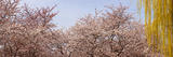 Cherry Blossom Trees and Willow Tree in a Park, Washington Dc, USA Photographic Print by  Panoramic Images