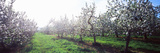 Apple Orchard, Hudson Valley, New York State, USA Photographic Print by  Panoramic Images