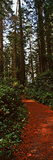 Trail Passing Through Eisenhower Grove, Redwood National Park, California, USA Photographic Print by  Panoramic Images