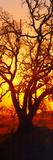 Silhouette of Oaks Trees, Central Coast, California, USA Reprodukcja zdjęcia autor Panoramic Images
