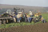 Migrant Workers Harvest Crops in Central Valley, CA Photographic Print