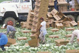 Migrant Farm Workers Harvest and Box Lettuce in San Joaquin Valley, CA Photographie