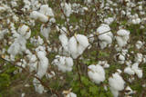 Close-Up of Cotton Plants in Field Photographic Print