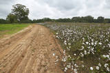 Cotton Fields Alongside Dirt Road Photographic Print