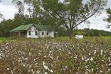 Cotton Fields Photographic Print