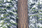 Pine Tree in Winter, California Photographic Print