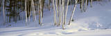 Birch Trees in the Snow, South of Woodstock, Vermont Photographic Print
