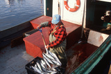 Mackerel Fisherman Shoveling Fish in Cape Breton, Nova Scotia Photographic Print