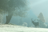 Solitary Elk on a Frozen Morning in Yosemite National Park, California Photographic Print