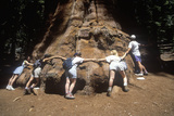 Tree Huggers Surrounding Giant Redwood Tree, Sequoia National Park, California Photographic Print