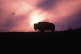 Silhouette of Solitary Buffalo on Ridge at Sunset in Winter, Montana Photographic Print