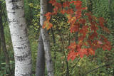 Birch Trees in Autumn, New England Photographic Print