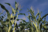 Green Stalks of Corn Photographic Print