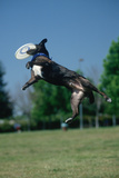 Dog Catching Frisbee at Canine Frisbee Contest, Los Angeles, California Photographic Print
